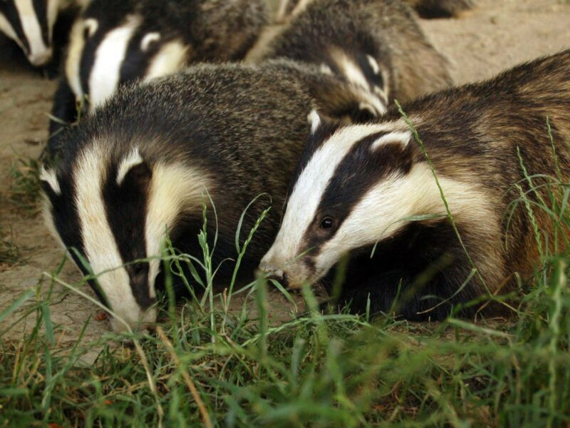 Rebel for the… Badgers? Animal Agriculture's Lesser-Known Impact on Biodiversity